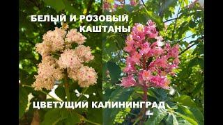 Калининград. Розовый и белый каштаны