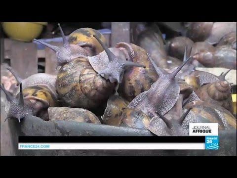Côte d'Ivoire : l'escargot, le secret d'initié dont tous les Ivoiriens raffolent !