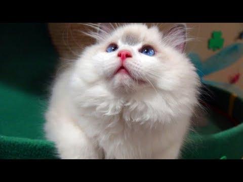 "15 Week Old Ragdoll Kitten Rosey Starring In ""Twas The Night Before August"""