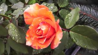 Paul Mauriat - Mon Amie La Rose