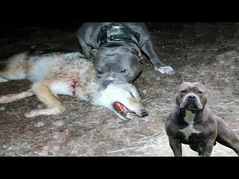 American Pitbull Terrier Vs Wild Wolf | Real Fight | Who Is More Stronger?