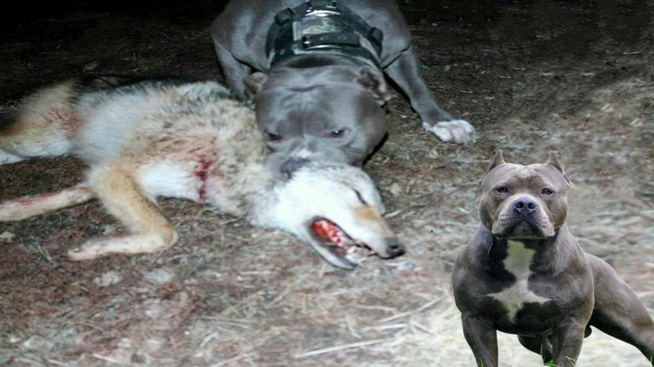 Download American Pitbull Terrier vs Wild Wolf | Real Fight | Who is More Stronger?