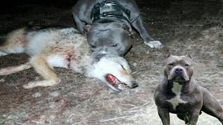 American Pitbull Terrier Vs Wild Wolf   Real Fight   Who Is More Stronger?