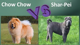 Chow Chow VS Shar Pei  Breed Comparison  Shar Pei and Chow Chow Differences