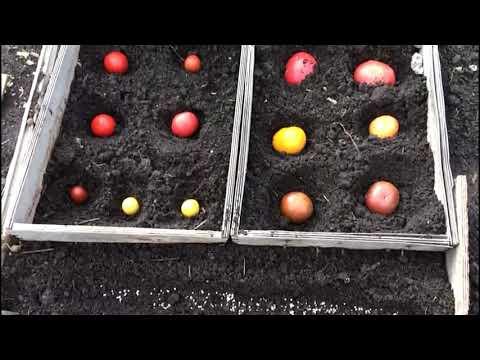 Как посеять помидоры под зиму