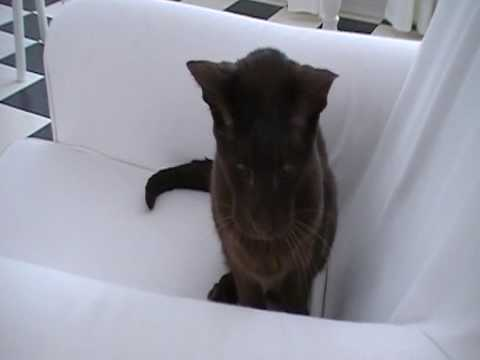 Havana Brown cat Stimpy