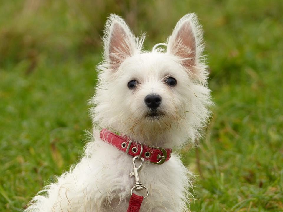 Bubbsie 12 week old westie puppy 3 week residential dog training youtube - Pictures of westie dogs ...