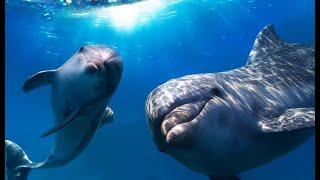 Дельфины Красного моря.