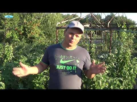 ОЧЕНЬ ХОРОШИЙ СОРТ МАЛИНЫ-ТАРУСА! | прямостоячая | выращивание | таруса | малина