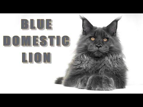 Blue domestic lion   Meet ZIN 5 months old Maine Coon kitten.