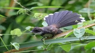 Suara pikat burung sikatan dijamin ngumpul