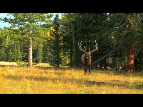 Bowhunting Elk At The Hill Ranch In Colorado