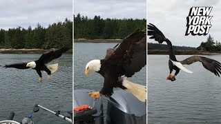 bald eagle snatches fisherman s salmon right off his boat   new york post