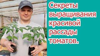 Листовая обработка,  которая делает рассаду томатов крепче.