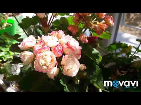 Розебудная пеларгония Denise (Сутарве)