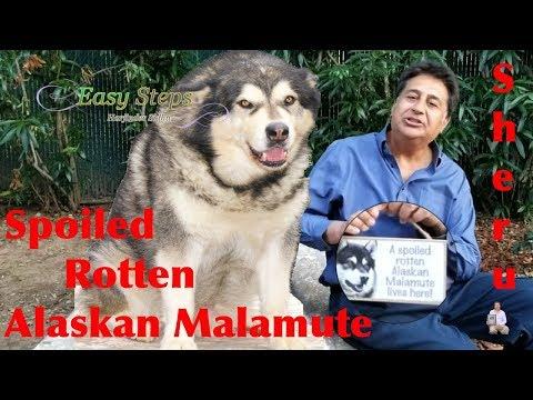 Sheru A spoiled rotten Alaskan Malamute lives here!