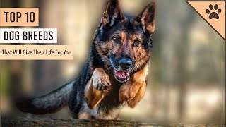 TOP 10 DOG BREEDS THAT WOULD GIVE THEIR LIFE FOR YOU!!!