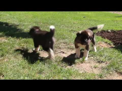 Akita Puppies For Sale Greenfield Puppies