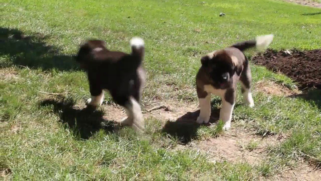 Akita Puppies for Sale - Akita Dog Breed Profile | Greenfield Puppies