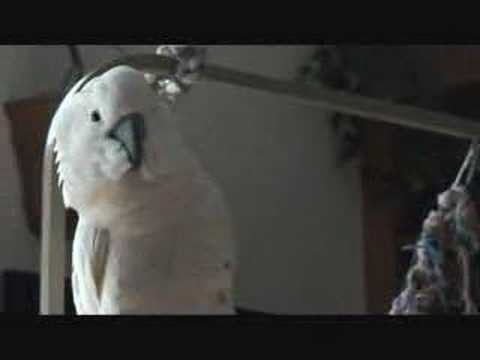 Smartest Talking Parrot, Elvis Bird!