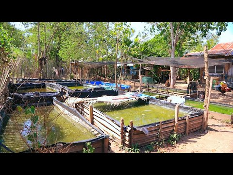 Outdoor Fish Farming Method│No Air-pump,No Filter, Green Water, Direct Sunlight