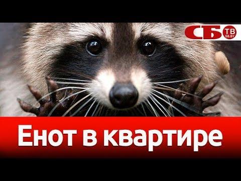 Вопрос: Почему в России в доме держат енотов?