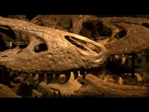 Museum of the Rockies to unveil new T-Rex exhibit this weekend