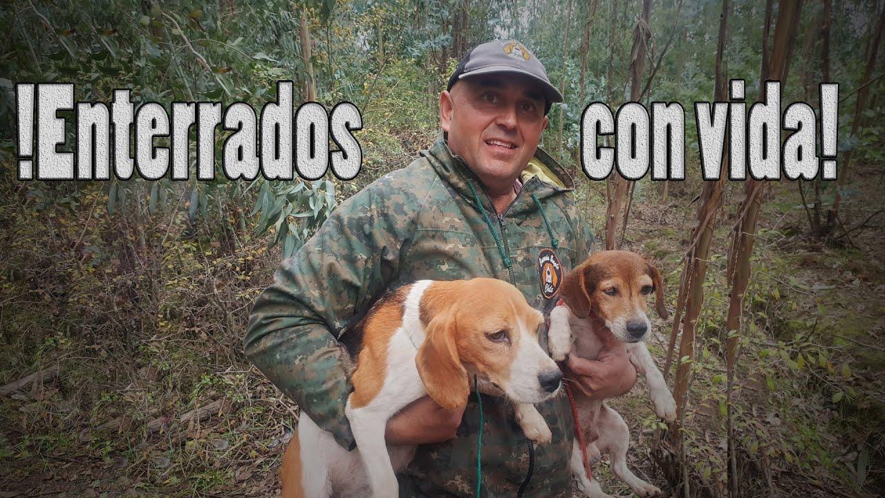 Perdemos A Sofia y Comino! 😥 Cacería de Conejos con Perros Beagles