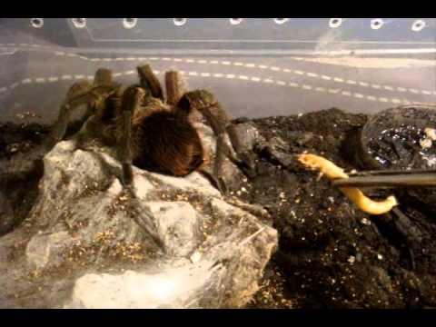 Tarantula Feeding Video 116 - It's a Good one...Trust me LOL