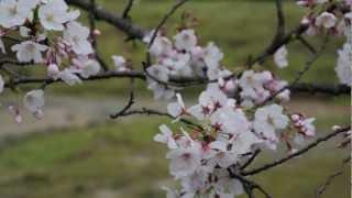 茉菜佳奈の「いのちの歌」(NHK連続テレビ小説「だんだん」より) ソプ...