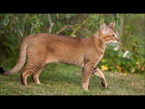 Cat AZ Picture  SlideShow- 9 Spotted Cat Breeds You May Not Have Heard Of