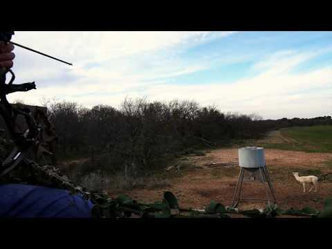 Jareds fallow hunt at Wild Turkey Ranch Tx feb 2015