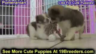 Pomeranian, Puppies, For, Sale, In, Weirton, West Virginia, Wv, Kanawha, Monongalia, Cabell, Wood, R