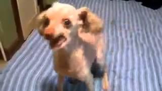 Ужасный лай собаки