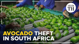 South Africa's theft ridden avocado industry