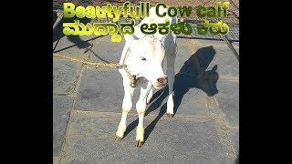 "Beautyfull ""Cow calf"" ಮುದ್ದಾದ ಆಕಳು ಕರು"