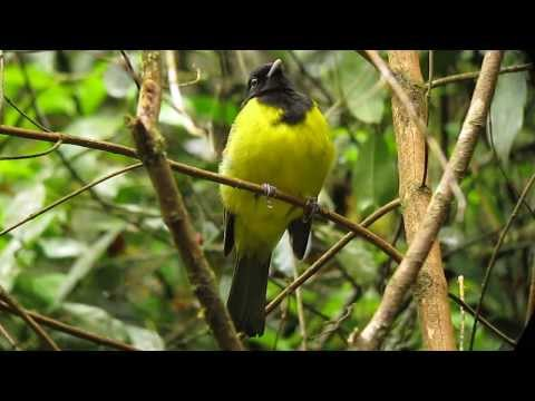 Hooded Berryeater - Carpornis Cucullata - Intervales, Brazil