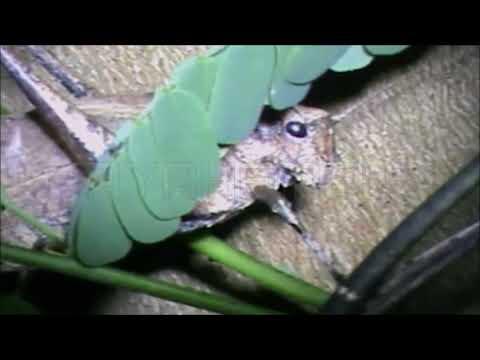 Rekaman (Suara Nyaring) Belalang Kecek Masteran Lovebird Durasi Panjang 15 Menit
