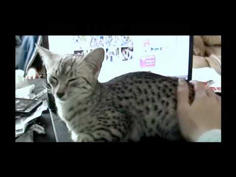 Egyptian Mau vocalizations - the 'mreh'