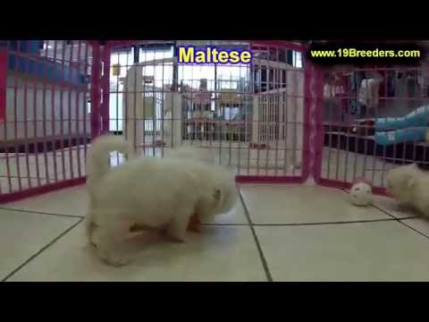 Maltese, Puppies, Dogs, For Sale, In Chicago, Illinois, IL, 19Breeders, Rockford, Naperville