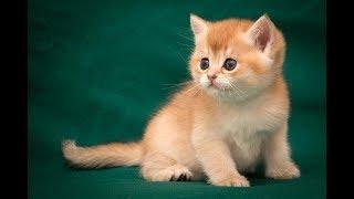 Кот Gamilton Sweet SunRay Британский котенок золотого тикированного окраса BRI ny 25