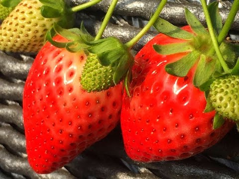 ALL YOU CAN EAT Fresh Strawberries in Tokyo - H.I.S. Food Bus Tour