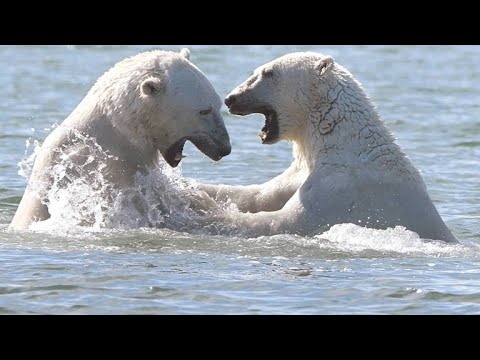 Elderly Polar Bear Spars With Young Males
