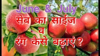 How to increase Apple's Size & Colour in June & July, by Inside Great Himalaya