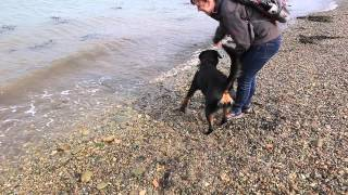 Zara the Rottweiler's first visit to the sea