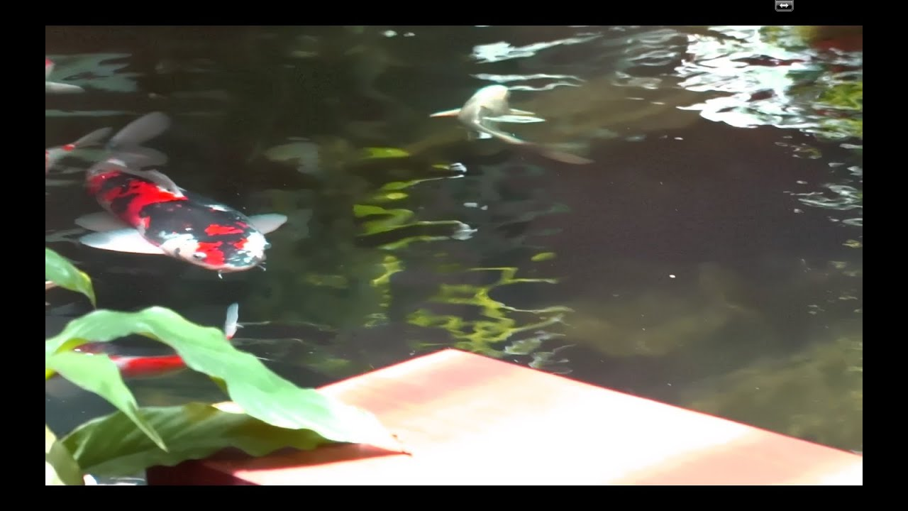 Koi pond and filter system youtube for Koi pond removal