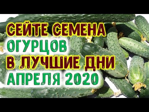 Вопрос: Какого числа лучше всего сажать огурцы в рассаду 2020 году?