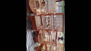 Kontes Kicau Burung Pleci Gacor 2015 Beserta Tips Dan Triknya