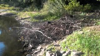 Ślady i tropy dzikich zwierząt (dziki, sarny, bobry) we Włocławku (Zawiśle)