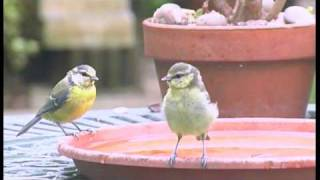 Wild Blue Tit Bird Water Bath Spa Party Cute